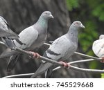 Pigeons Standing On Wire  In...