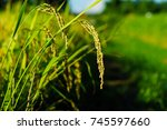 rice grains are under the... | Shutterstock . vector #745597660