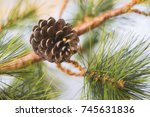 Pine Cone On Pine Tree...