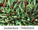 calathea leaves plant | Shutterstock . vector #745652614