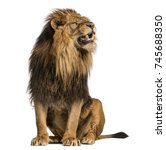 Stock photo lion sitting roaring panthera leo years old isolated on white 745688350