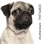 Stock photo close up of pug puppy months old in front of white background 745716823