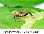 Small photo of Small and colourful Male Two-striped Jumping Spider (Euarthropoda: Chelicerata: Arachnida: Araneae: Araneomorphae: Salticidae: Telamonia dimidiata) crawling on a green leaf