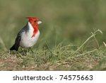 Red Crested Cardinal  Paroaria...