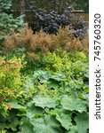 Small photo of Flower garden with Lady's-mantle (Alchemilla vulgaris) and Astilbe in the end of summer.