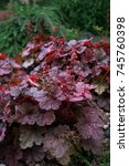 Small photo of Perennial plant alum root in the garden. (Heuchera)