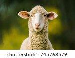Sheep Looking At Camera On...