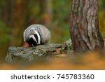 wild badger  meles meles ... | Shutterstock . vector #745783360