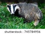 badger  meles meles  looking... | Shutterstock . vector #745784956