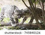 a snow leopard couple. the snow ... | Shutterstock . vector #745840126