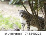 a snow leopard couple. the snow ... | Shutterstock . vector #745840228
