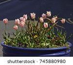 tub of pink tulip flowers | Shutterstock . vector #745880980