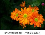 fully open chrysanthemum with... | Shutterstock . vector #745961314