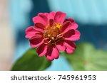 pink and yellow zinnia flower...   Shutterstock . vector #745961953