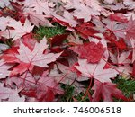 Beautiful Red Maple Leaves On...