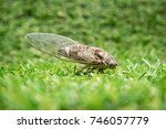 close up of cicada on grass | Shutterstock . vector #746057779