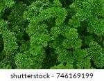 Green Parsley Leaf Background....