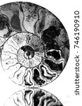 Small photo of Extinct species ammonite, sliced with inner structure exposed