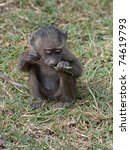 Yellow Baboon Kid  Papio...