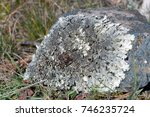 Small photo of Gray foliaceous lichen on stone