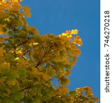 Small photo of The colors of the autumn, yellow, orange and red leaves on the branches of a tree in the park outdoor on blue sky background. Maple, Acer, Sapindaceae.