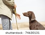 Stock photo german short haired pointer kurzhaar and trainer outdoors natural light and colors 74630131