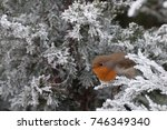 Fluffy European Robin Hiding I...