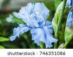 Flowering Iris  Spring Flower...