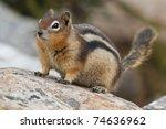 Golden Mantled Ground Squirrel...