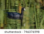 Small photo of American Coot/American Coot swimming in the marsh with reflections in the water