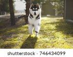 Siberian Husky Running In The...