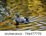 Small photo of American Widgeon in fall