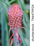 pineapple inflorescence   Shutterstock . vector #746479924