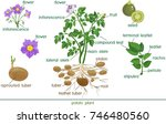 parts of plant. morphology of... | Shutterstock .eps vector #746480560