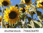 Yellow Sunflowers Against The...