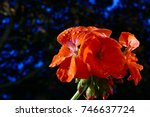 Geranium Flower On A Backdrop...