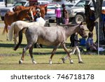 Horse At A Breed Show