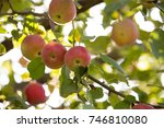 ripe apple on a tree in the... | Shutterstock . vector #746810080