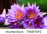 Blue Lotus In Putuo  Zhoushan ...
