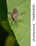 Small photo of Image of Leaf-footed Bug(Coreidae) on the green leaf. Insect. Animal.