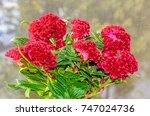 dark red celosia cristata... | Shutterstock . vector #747024736
