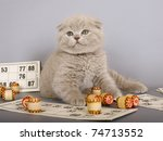 Stock photo lilac scottish kitten playing in a bingo 74713552