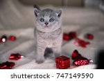 Stock photo british kitten in the new year s toys british furry blue kitten very cute british kitten british 747149590