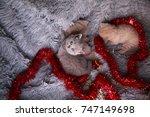 Stock photo british beautiful kittens beautiful kitten british kittens new year s british kittens british 747149698