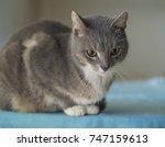 close up cute gray somali cat... | Shutterstock . vector #747159613