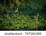 grey heron in the danube delta...   Shutterstock . vector #747181300