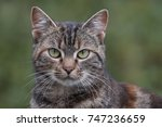 Close Up Tiger Cat  Tabby  With ...