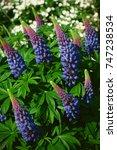 lupinus  lupin  lupine field... | Shutterstock . vector #747238534