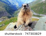 An Alpine Marmot In The...