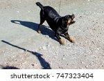 rottweiler barking at someone... | Shutterstock . vector #747323404